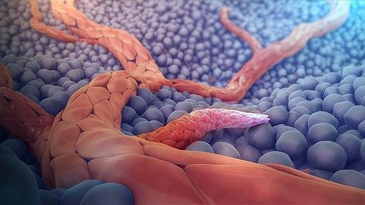 Ангиогенез - образование новых кровеносных сосудов в скелетных мышцах